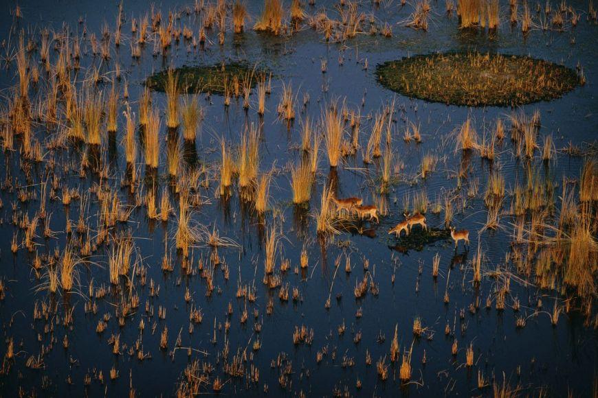 Antelopes in the Okavango Delta, Botswana