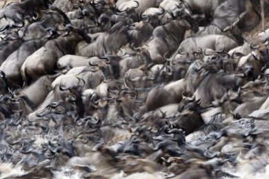 Kenya, gnous à barbe blanche