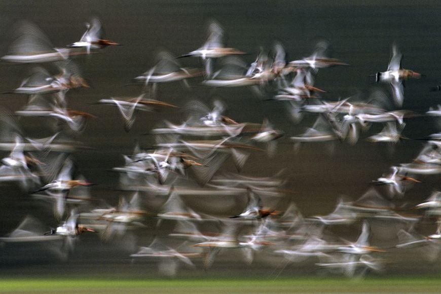 Black-tailed Godwit, Loire, France