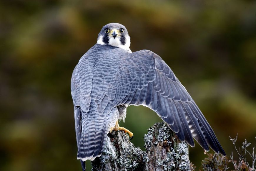 Peregrine falcon, Scotland, United Kingdom