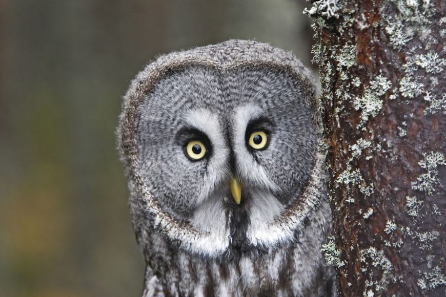 Great grey owl, Lapland Province, Finland