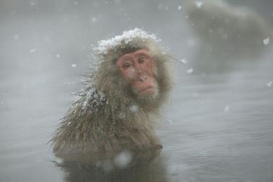 Japanese macaque, Shiga Kogen, Japon