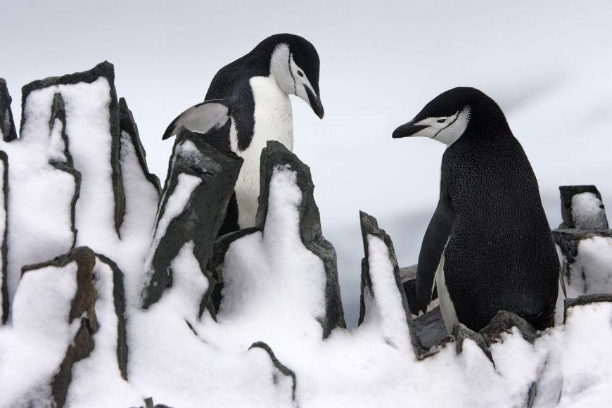 Manchots à jugulaire, Péninsule antarctique