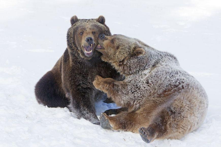 Attaque Grizzly, Montana, États-Unis