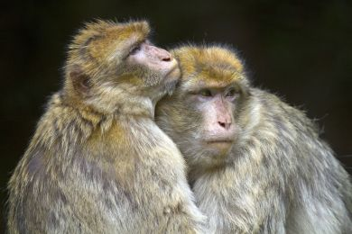 Barbary macaque, Bas Rhin, France