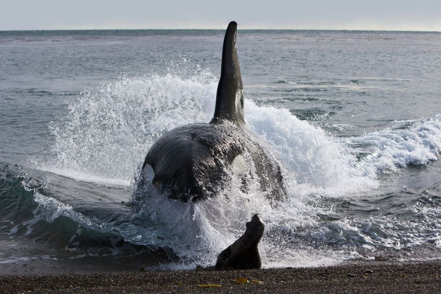 Killer Whale attack, Patagonia, Argentina