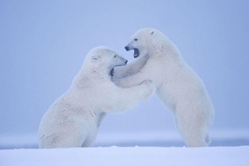 Ours polaires, Alaska, Etats-Unis