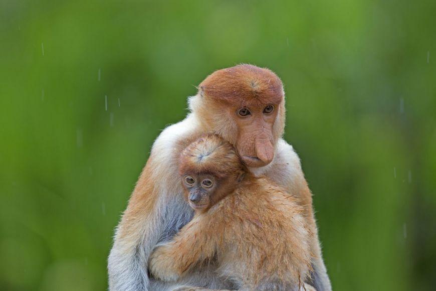 Femelle et bébé nasiques de Bornéo, Malaisie