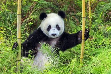 Panda géant ,Province du Sichuan, Chine