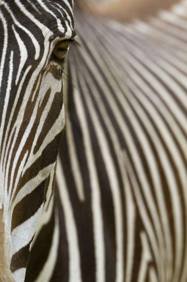 Kenya, Grevy's zebra