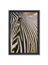 Kenya, zèbre de Grevy