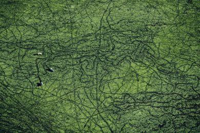 Cows, Pantanal, Brazil
