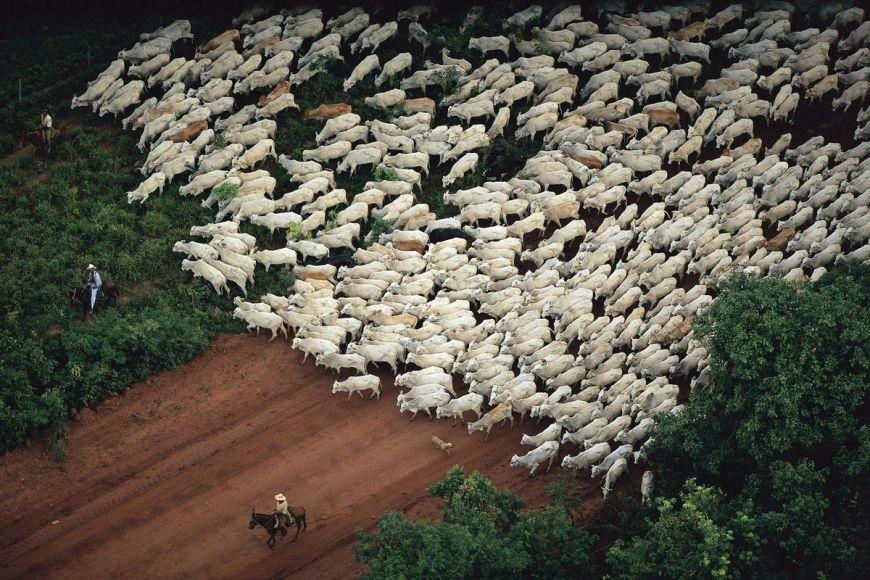 Zebus, Mato Grosso, Brazil