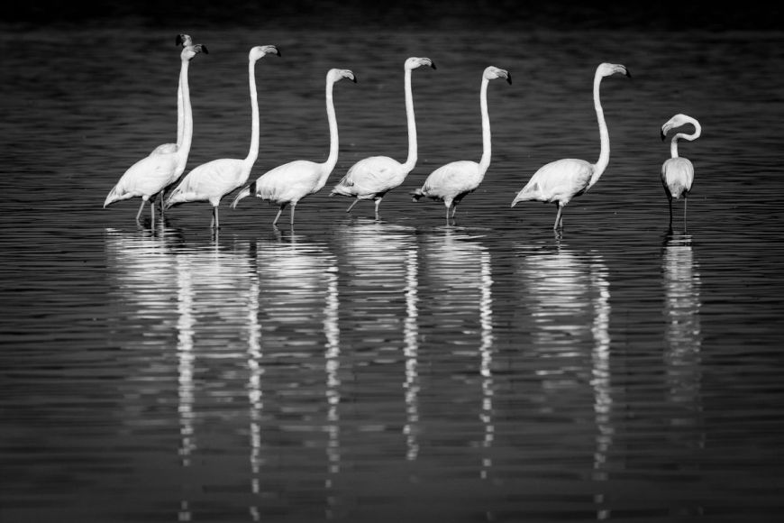 Kenya, greater flamingoes (B&W)