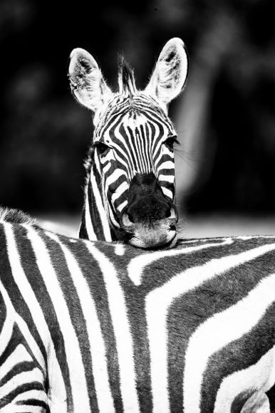 Kenya, Grant's zebra