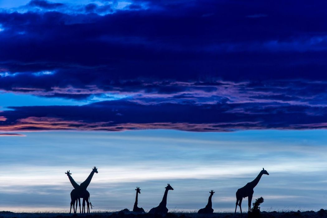 Kenya, giraffes at dawn in the Masai-Mara