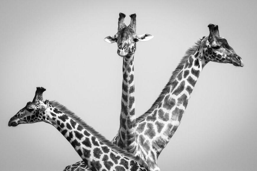 Kenya, giraffes in Masai-Mara (N&B)