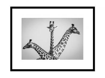 Kenya, girafes dans le Masai-Mara (N&B)