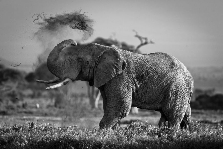 Kenya, elephant in Amboseli National Park