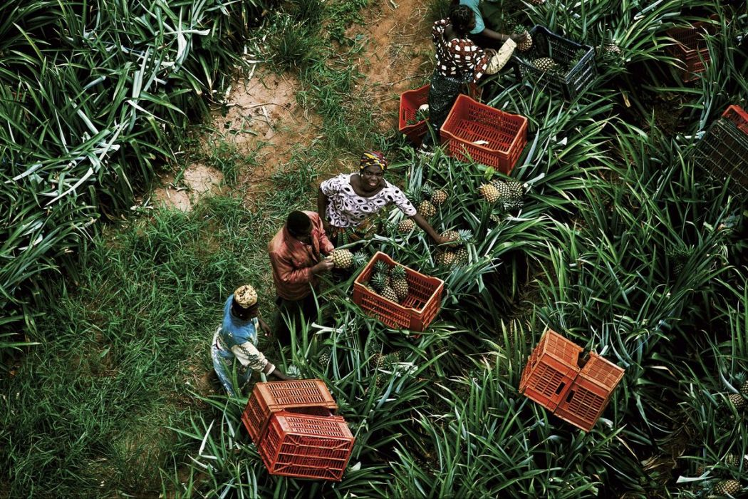 Pineapple harvesting, Ivory Coast