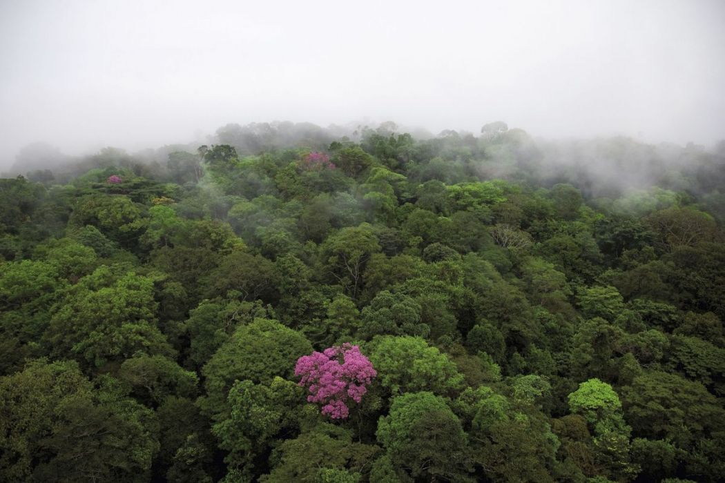 Pink trumpet tree, French Guiana