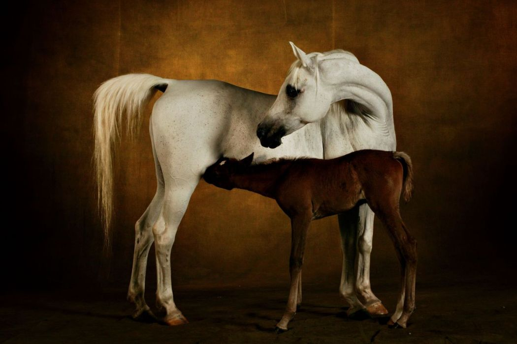 Arab Broad mare and filly