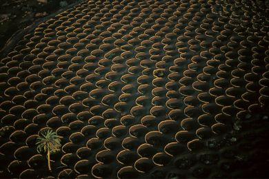 Vineyards in Lanzarote, Spain